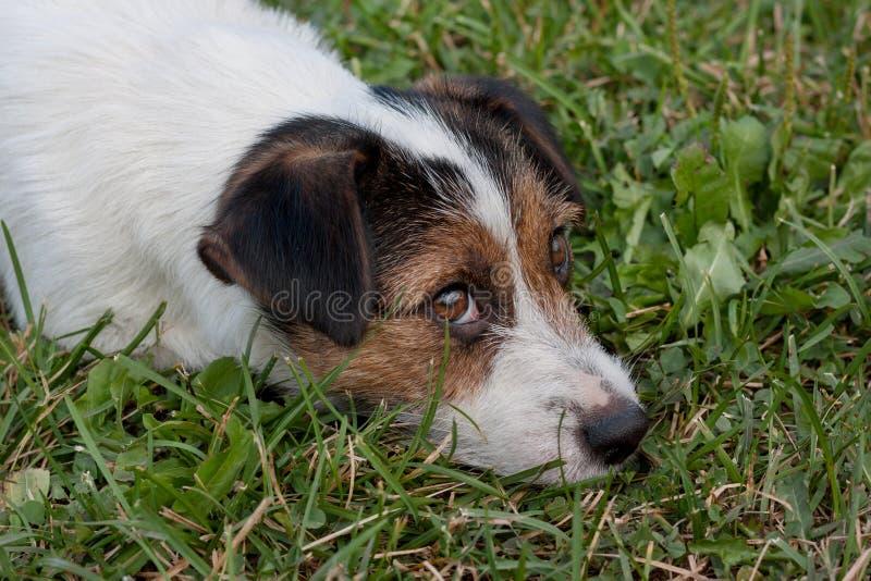 O terrier bonito de russell do jaque com olhos marrons está encontrando-se em um prado verde Fim acima Animais de animal de estim foto de stock royalty free
