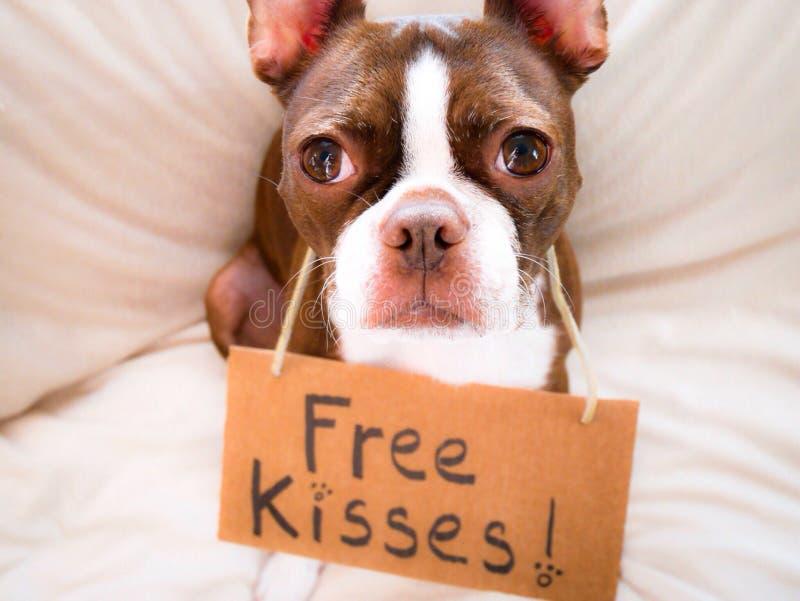 O terrier de Boston oferece beijos livres imagem de stock royalty free