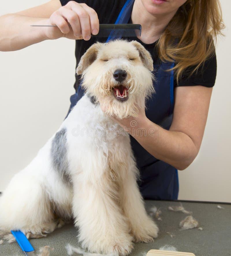 Terrier de Fox que obtem seu corte do cabelo fotografia de stock