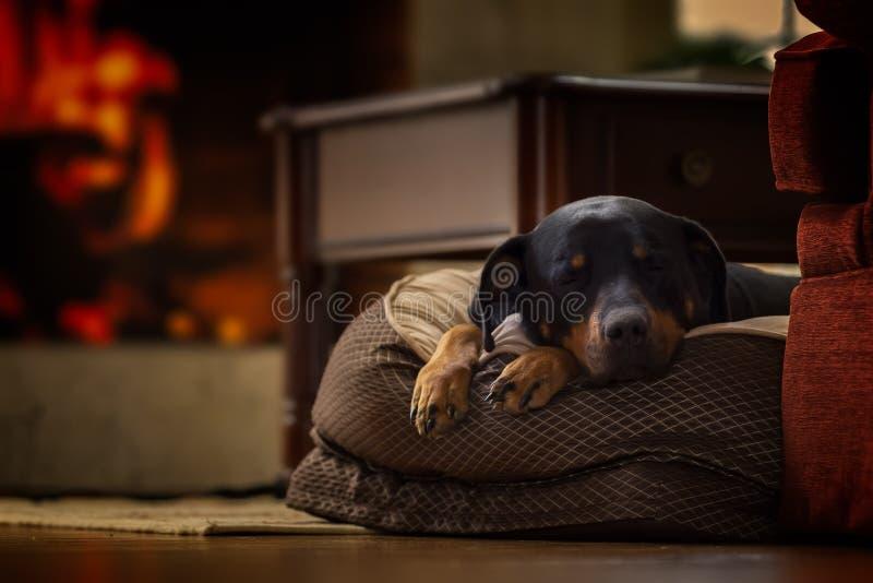 O terrier de galês jejua adormecido imagem de stock royalty free