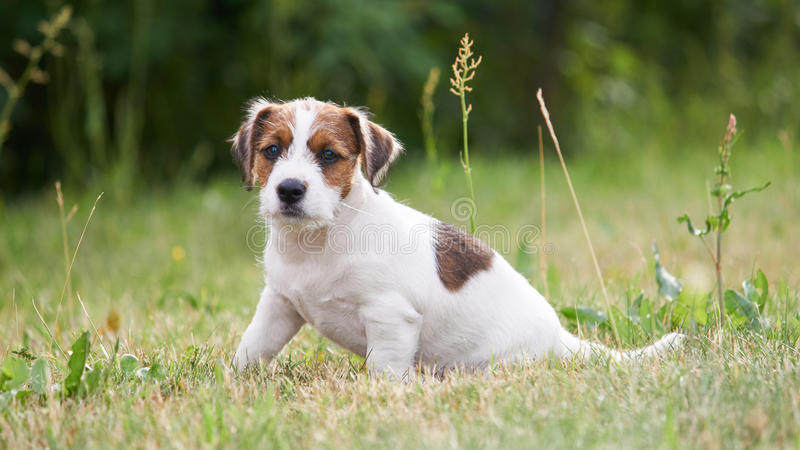 O terrier de Jack russell do cachorrinho está jogando no jardim na grama fotos de stock royalty free
