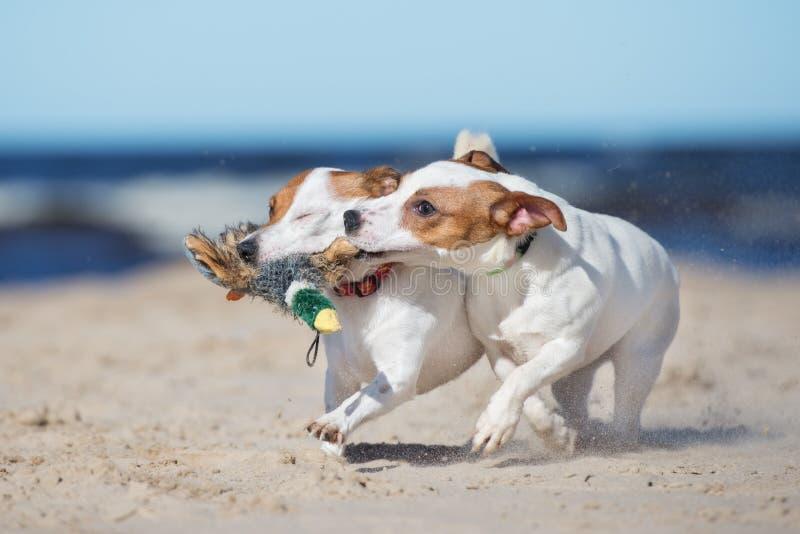 O terrier de russell de dois jaques persegue o jogo em uma praia imagens de stock royalty free