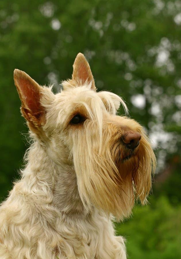 O terrier escocês fotos de stock royalty free