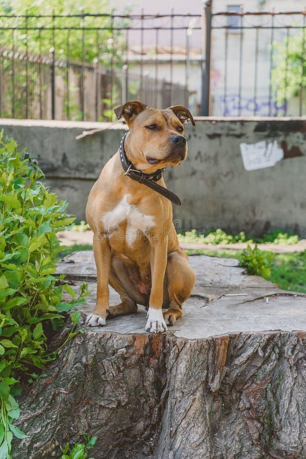 O terrier novo de Staffordshire do cão senta-se e olhando seriamente fotos de stock royalty free