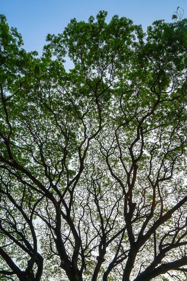 O teste padrão abstrato natural bonito da silhueta do raintree gigante ramifica com as folhas verdes frescas e o fundo do céu azu fotografia de stock royalty free