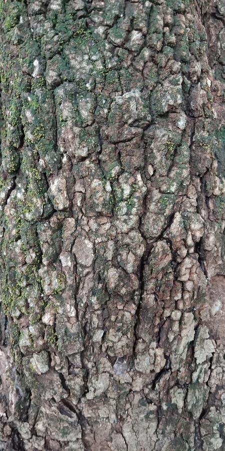 O teste padrão de madeira de superfície do close up na pele rachada velha do tronco da árvore textured o fundo papel de parede do fotos de stock