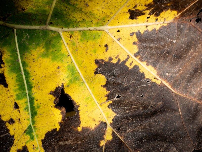 O teste padrão de três cores deteriora a folha da teca foto de stock