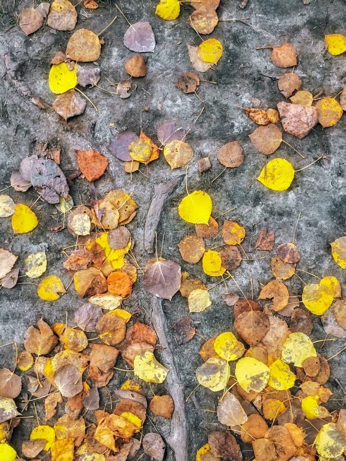 O teste padrão do álamo amarelo caído sae na terra desencapada, Alberta, Canadá fotos de stock royalty free