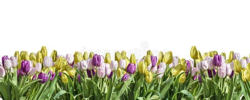 O textspace branco isolado do cumprimento do espaço do fundo da tulipa amarela, branca e cor-de-rosa pode oriental feliz da mola  imagens de stock royalty free
