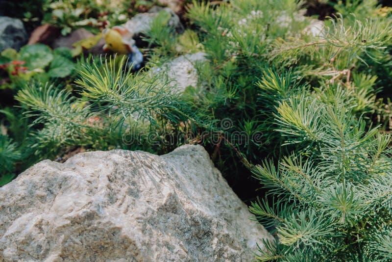 O Thuja adere-se no ensolarado de pedra forestgarden Backgroung da natureza Natureza de Beautyful imagens de stock