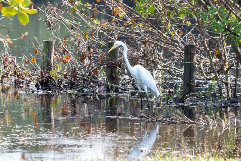 O thula do Egretta do Egret é uma garça-real branca pequena bonita, aqui uma caça na lagoa de Marapendi em Barra da Tijuca Rio de fotos de stock
