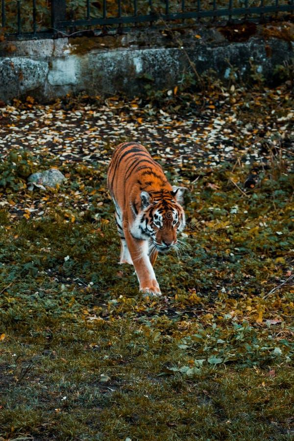 O tigre anda na grama Animal selvagem fotografia de stock royalty free