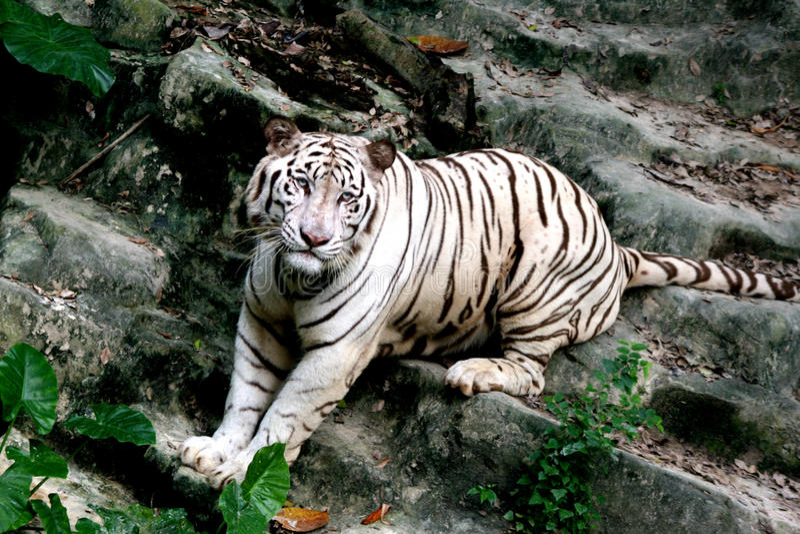 O tigre branco com foto de stock