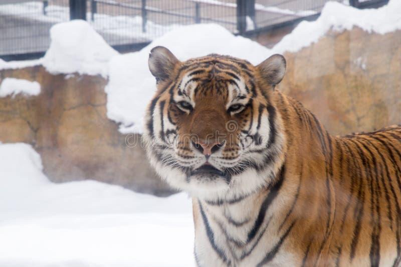 O tigre de Bengal ou o Panthera tigris eram gaiola só imagem de stock
