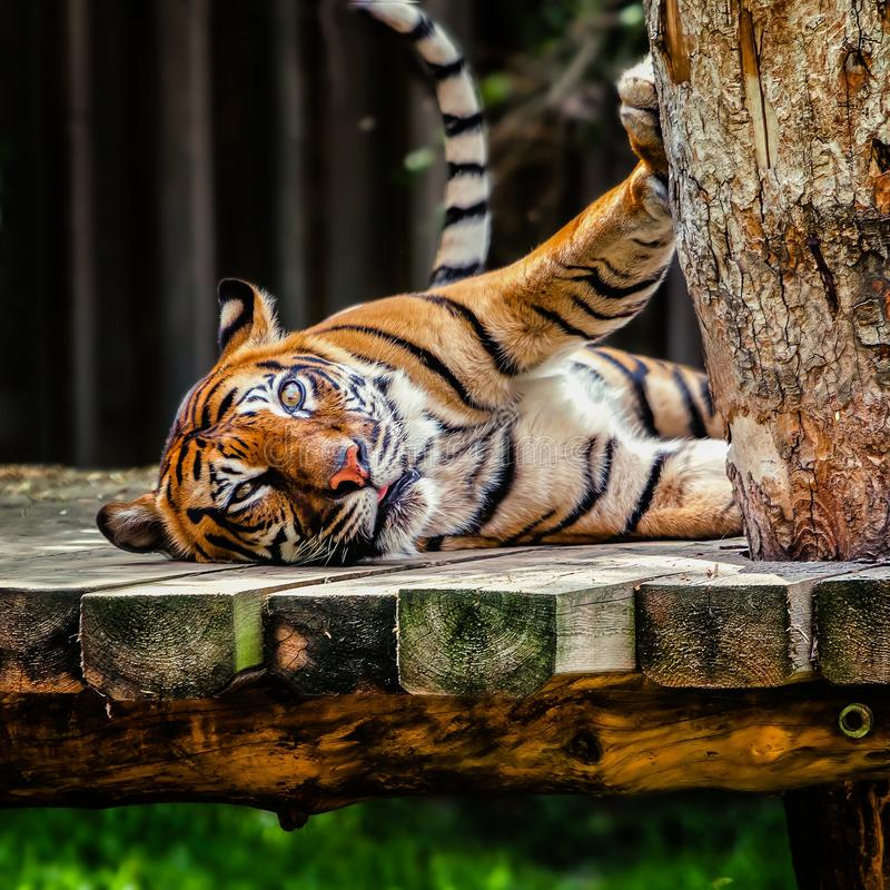 O tigre de Sumatran fotografia de stock royalty free