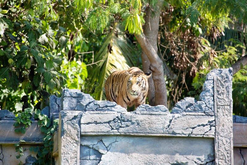 O tigre de Sumatran, sumatrae de tigris do Panthera, é posto em perigo foto de stock