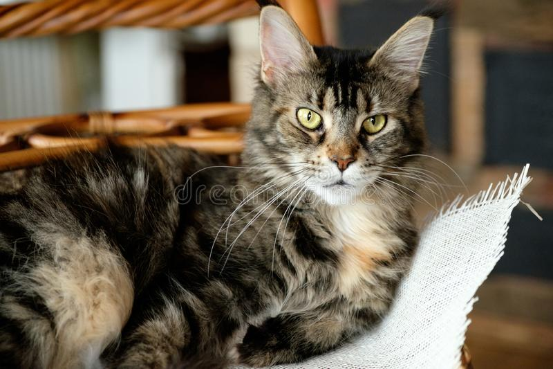 O tigre do preto da cor de Cat Maine Coon selvagem com olhos verdes encontra-se em uma cesta de vime em um pano de serapilheira imagem de stock