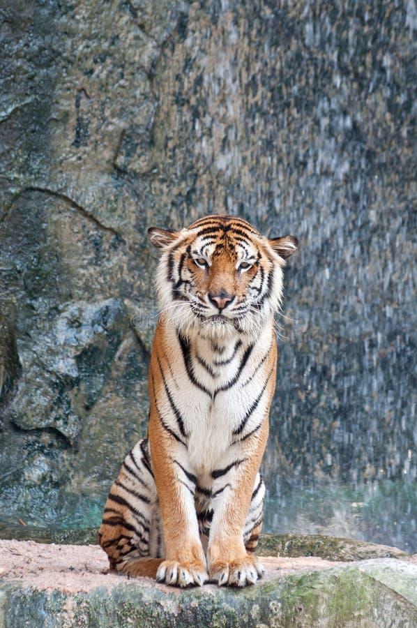 O tigre na rocha imagens de stock
