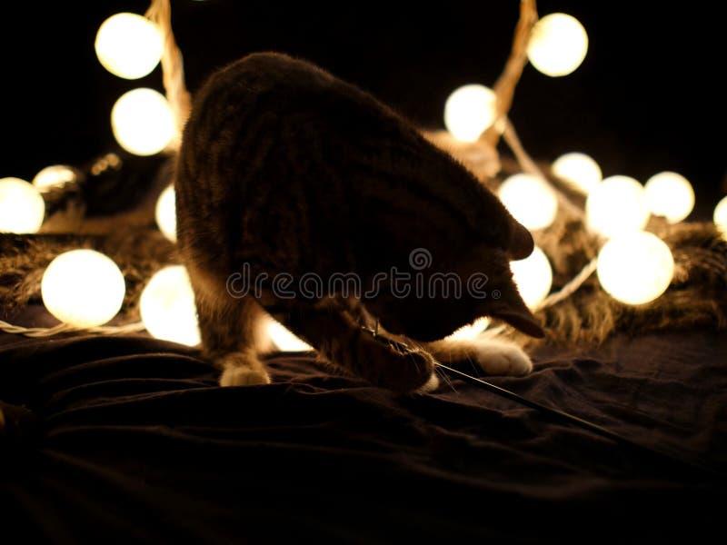 O tigre pequeno está jogando com seu brinquedo do caçador do gato imagem de stock royalty free