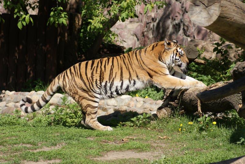 O tigre sharpens suas garras foto de stock royalty free