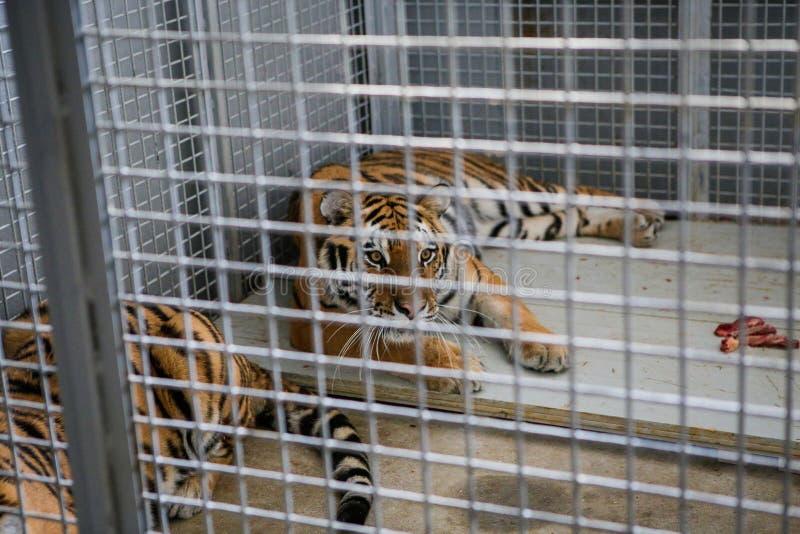 O tigre Siberian selvagem manteve-se na gaiola dentro de uma mistura variada do circo - abuso animal foto de stock royalty free