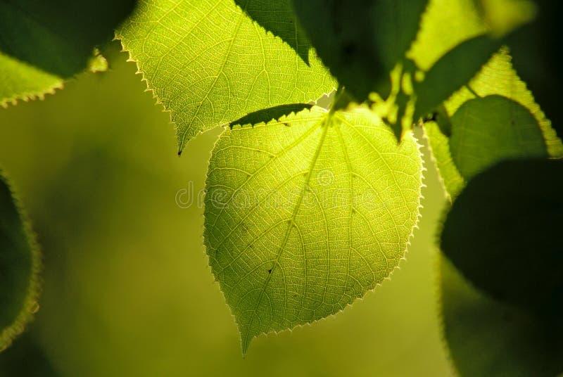 O Tilia ou a árvore de linden saem na luz natural fotos de stock