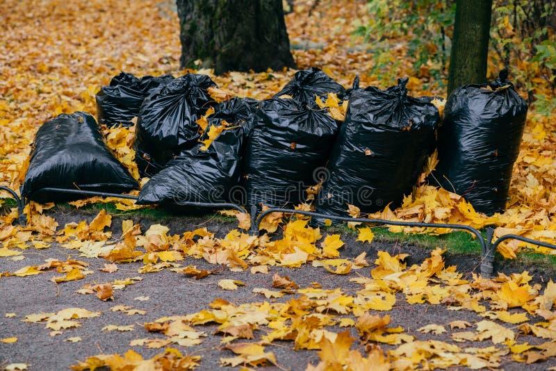 O tiro do saco preto encheu-se com as folhas de outono Limpeza do parque durante novembro Muitos trashes com folha amarela fotos de stock