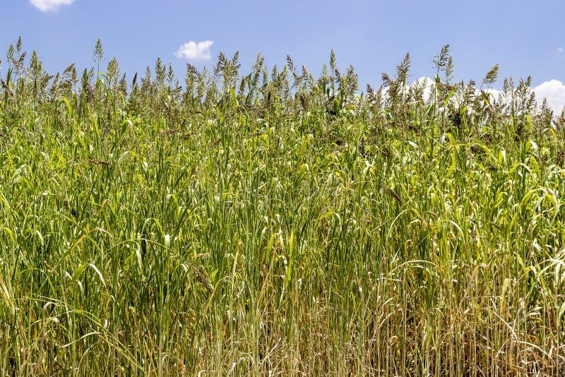 O tiro largo dianteiro do trigo planta pronto para colher com luz da tarde fotografia de stock royalty free