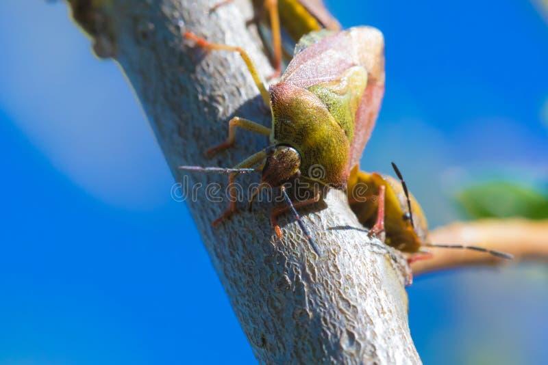 O tiro macro bonito apenas do erro pequeno ou do besouro no ramo ou no galho do salgueiro foto de stock