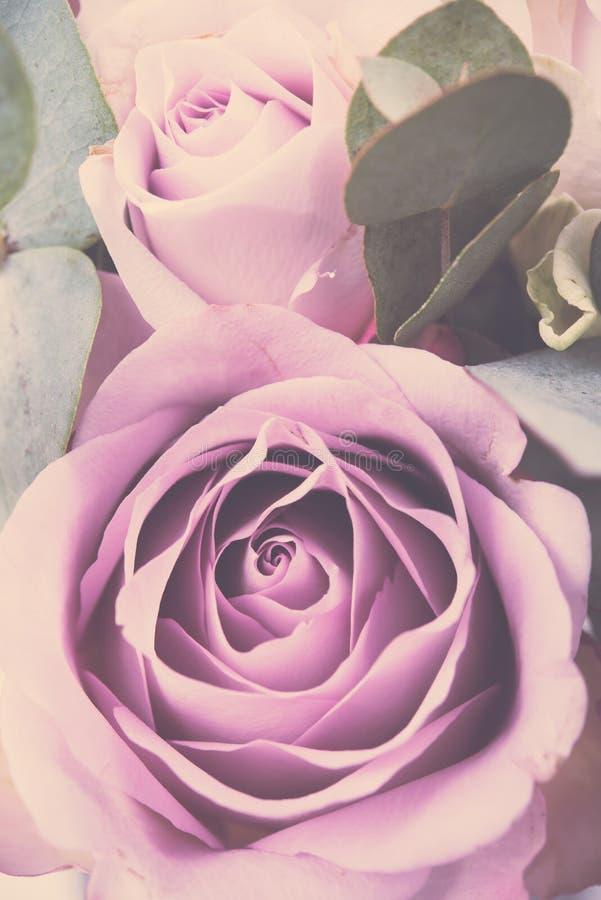 O tiro macro das rosas cor-de-rosa frescas, verão floresce, estilo do vintage fotografia de stock
