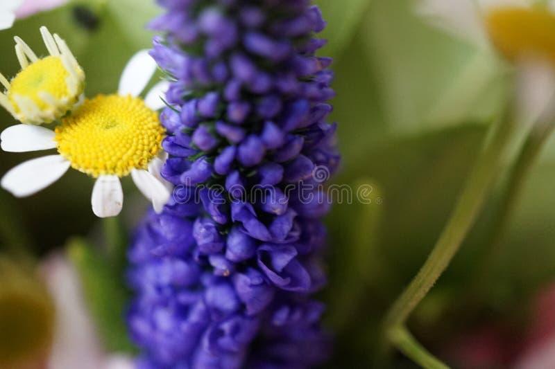 O tiro macro de um jacinto de uva combinated com uma camomila foto de stock royalty free