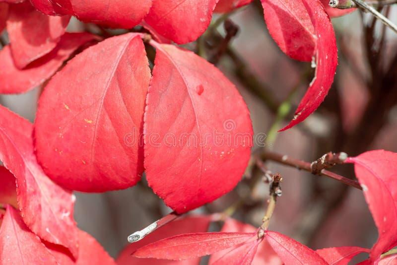 O tiro macro do Euonymus Alatus da planta do arbusto de queimadura com ele é folhas vermelhas vibrantes imagens de stock royalty free