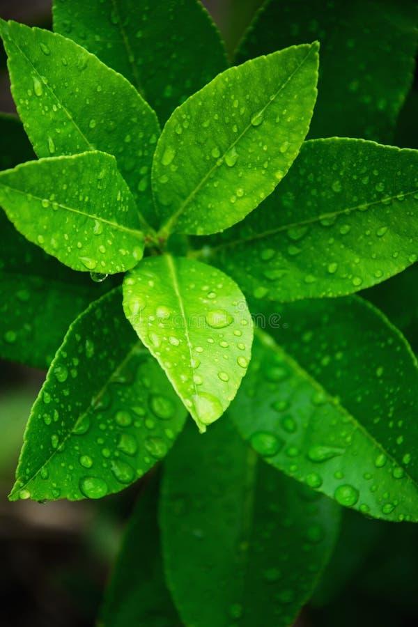 O tiro macro do verde fresco sae com os pingos de chuva foto de stock royalty free