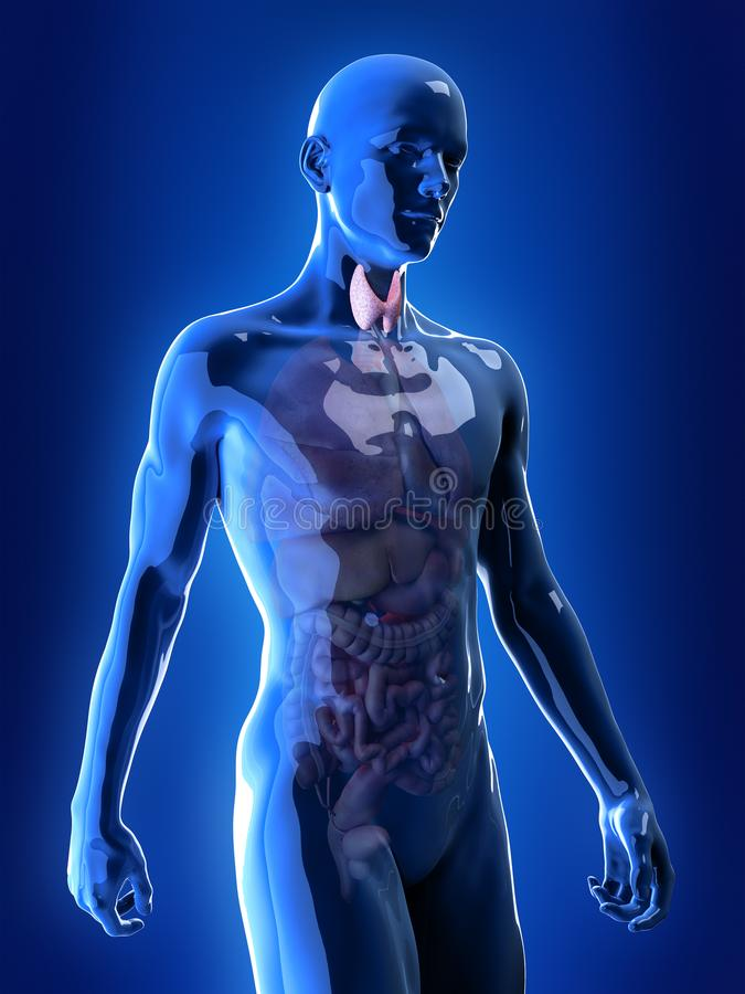 o tiroide ilustração royalty free