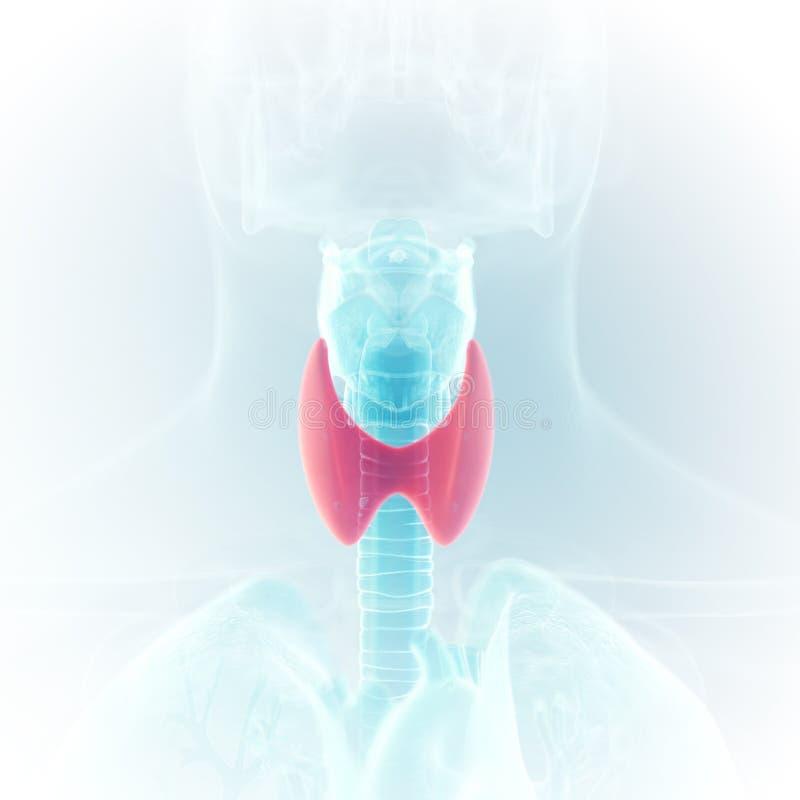 o tiroide ilustração do vetor