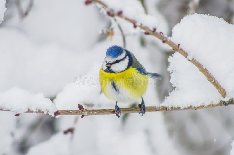 O Titmouse senta-se em ramos cobertos de neve no parque foto de stock royalty free