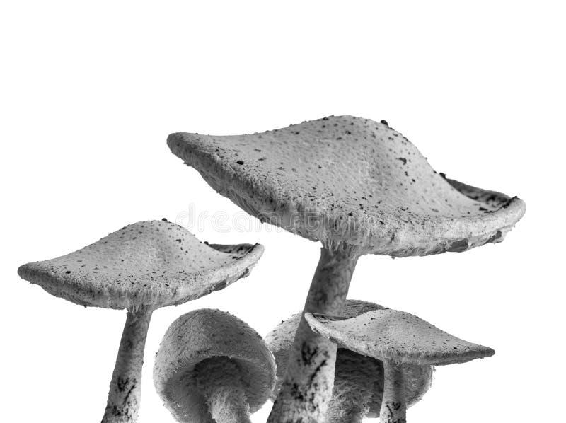 O Toadstool cresce rapidamente preto e branco imagem de stock royalty free