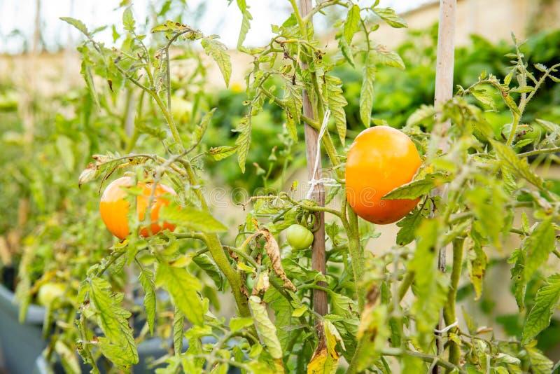 O tomate cantará em um ramo imagens de stock