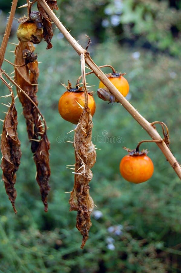 O tomate secado imagens de stock royalty free