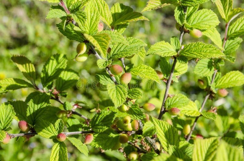 O tomentosa do Prunus da cereja de Nanking no ramo imagens de stock