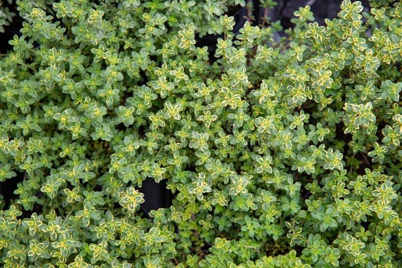 O tomilho do limão é uma planta aromática fotos de stock royalty free