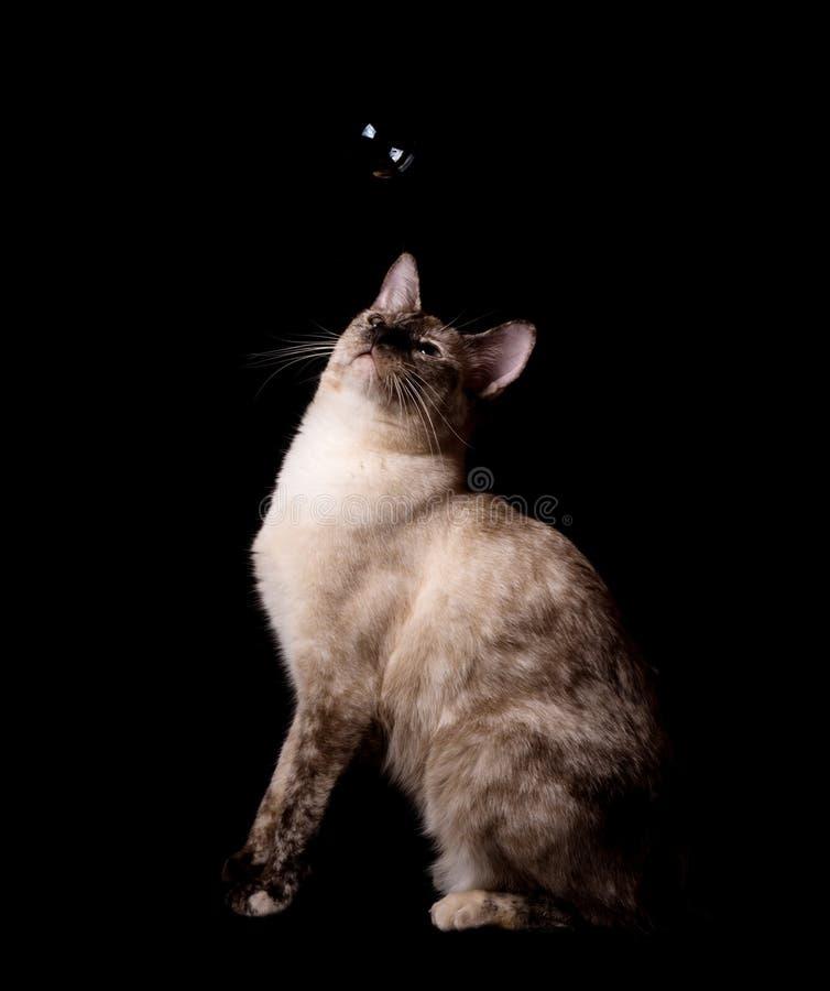 O tortie bonito aponta o gato siamese que olha uma bolha que flutua acima dela foto de stock royalty free