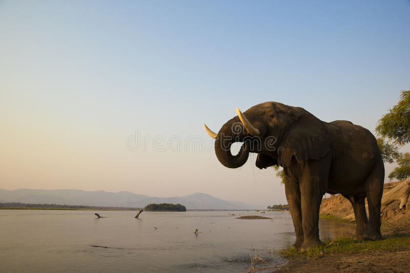 O touro do elefante africano que bebe no Zambezi rive imagens de stock