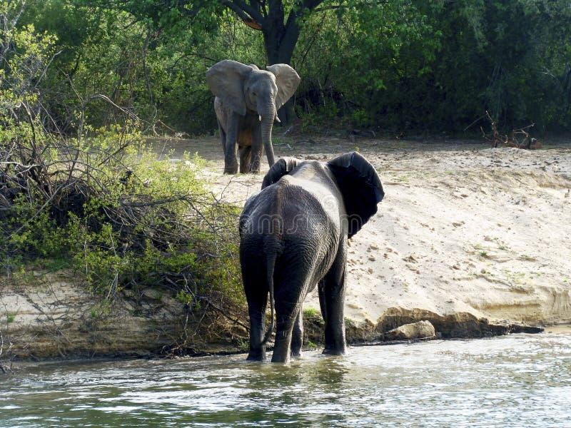 O touro do elefante encontra um outro elefante imagens de stock royalty free