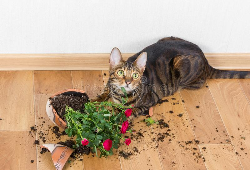 O toyger da raça do gato doméstico deixou cair e quebrou o potenciômetro de flor com vermelho fotografia de stock