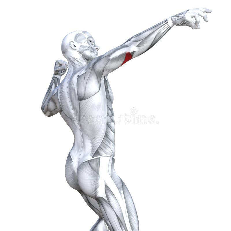 o tríceps da ilustração 3D coube a anatomia humana forte ilustração stock