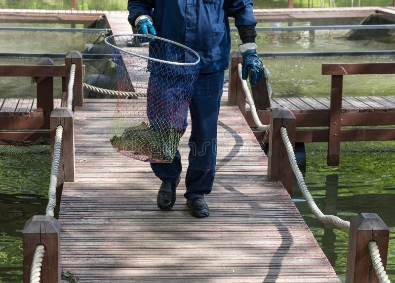 O trabalhador da piscicultura vai em pontes de madeira e leva uma aro-rede w fotos de stock