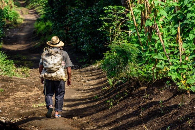 O trabalhador de exploração agrícola anda através da plantação de café, Guatemala fotos de stock