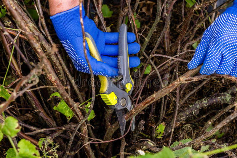 O trabalhador está podando ramos da planta, jardineiro está diluindo ramos do arbusto de corinto vermelho imagem de stock royalty free
