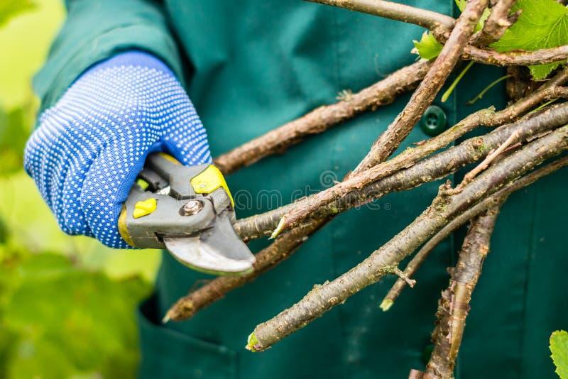 O trabalhador está podando ramos da planta, jardineiro está diluindo ramos do arbusto de corinto vermelho imagem de stock